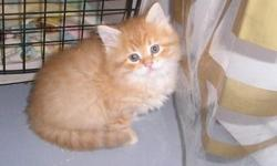 Stunning beautiful siberian kittens when available. visit the website www.siberiankittensheartofgold.com Color me orange! USDA in home cattery and a county business license as required by law. Home raised kittens who live better then alot of people.Cats