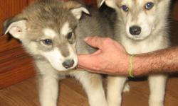 Alaskin Timberwolf pups 10 weeks old, wonderful parents, must see.
