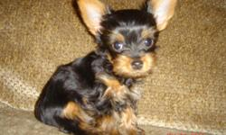 This tiny yorkshire terrier male puppy was born 11-27-2010 so he's 8 1/2 weeks old now and he weighs 1.0-1.1 lbs. depends on if he's eaten. He can only go to someone without small kids, and someone who know how to take care of a tiny teacup, because he