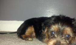 1 tiny male yorkie born 11/1/12. He has had his 1rst shots,dewormed and tail has been docked. He was born and being raised inside my home. I am trying to get him started on potty training him to a puppy pad. He is a very smart, happy,playful energetic,and