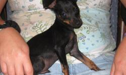 Adorable black/tan tiny male min pin is ready for his new loving family. Shots are current and dewormings. He is 11 weeks old. He is very small. Estimated to get around 7 pounds at adult size. He is very sweet and loves to cuddle. Parents' have good