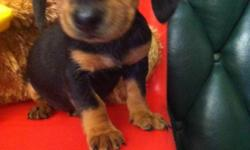 8 WEEK OLD MINI DACHSHUND PUPPIES. 2 FEMALES SUPER SPUNKY AND SUPER CUTE! A MUST SEE! PAPER TRAINED AND CRATE TRAINED* NOT YAPPY JUST HAPPY CALL FOR MORE INFO: 213-905-0586