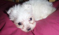 Extremely tiny female Maltese, DOB:5-9-2011. Parents are AKC but due to extreme tiny size puppy will be available as a pet only and papers will not be provided. Puppy comes with 1st shot, wormings up to date and a health guarantee for genetic defects.