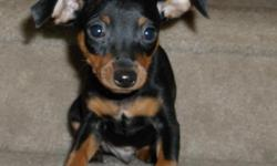 Lil Black and rust Male  Miniature Pinscher , Ready to go today. has had first shots and healthy as can be. Mom is a Black and rust , Dad is a Choc and rust..AKC papers with Full registration. Would be a great Christmas present. DOB 9-26-12