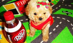 The Maltipoo is an intelligent, loving dog. The estimated adult size for these puppies is seven inches and under in height and under four pounds in weight full grown. Their small size makes them great companions. They have all age appropriate shots and