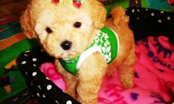 Maltipoo's, fluffy tiny puppies. Very sweet, great personality, stunning happy puppies. Love to cuddle and play with great personalities. Have good temperament and great disposition. Current in their vaccinations & dewormings, plus health guarantee. These