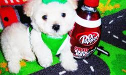 Maltipoo's, fluffy tiny puppies. Very sweet and intelligent. Love to cuddle and play. Have good temperament and great disposition. Current in their vaccinations & dewormings, plus health guarantee. These pups are non-shedding & hypo-allergenic so they're