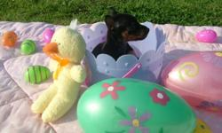 They are tiny tiny and will make some one a great easter present! Look for them to be only 4 to 5 pounds. They are current on all vacinations as well as worming! we send them to there new homes with a puppy starter kit! We offer potty training