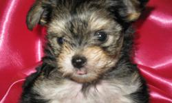 These Precious little Morkies are 6 weeks old and 1 pound, These babies will weigh between 3 and 4 pounds,Mommy is a 5 pound ACA Yorkie and Dad is a 2 1/2 pound AKC Maltese, The puppies are registered with ACHC,They have beautiful coloring and little Foxi