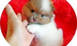 We are a small in home, pomeranian breeders in so california. We raise only quality, healthy, gorgeous pomeranian puppies for sale in california. If you are looking for a social, clean 'one of a kind' pomeranian puppy, then please visit our