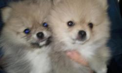 Registered APRI Born on 7/1/11 We currently have 2 male puppies available. They have excellent temperaments and are soft and cuddly. They are up to date on all shots and have been dewormed. Contact Rhonda 903-229-7103 or rhanna03@att.net.