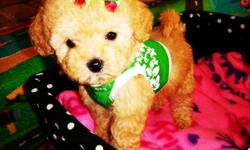 Adorable designer breed/tiny maltipoo puppies. Current in their vaccination, dewormings and a health guarantee. Very social, happy little puppies. They love to cuddle and play. They have beautiful fluffy and shiny coats. They are very well socialized with