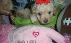 $300-500 Adorable puppies are ready for new homes. They are 8-10 weeks old and have had their first sets of shots and dewormer. They are Crate TRAINED and love children. Great family pets!! CALL 512-771-5466 or See website www.maltipoopup.com for info