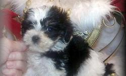 Visit our websitehttp://www.fancypoo4u.com home of teacup and toy breed puppies for sale. Phone --/Cell --. Silver Creek, Ms We have the smallest, cutest, best looking, top quality puppies.Our puppies are well socialized, potty
