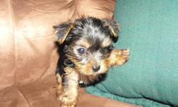 We have tiny beautiful yorkies puppies for sale. They are ckc registered. Raise them in our home. Parents weight is 4 lb n 2 lb so these will be tiny babies, what some would call teacups. We only have 1 female left and 2 males.