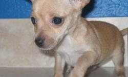 BEAUTIFUL Itty Bitty teacup Chihuahua pups!! One handsome male little darker champagne. Beautiful soft smooth coats. They are very playful and also smart. And LOVE kids. Will be a great pet for a family or an elderly couple or single person!