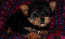 This tiny teacup female Yorkie will be between 3 - 3.5 pounds full grown. She is a very sweet puppy that will make a wonderful lap dog! She is CKC registrable and will be UTD on her shots, wormed, include registration papers, a one year health guarantee,