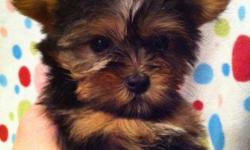 This tiny teacup female Yorkie will be between 3.5 - 4 pounds full grown. She is a very fun and playful puppy! She is CKC registrable and will be UTD on her shots, wormed, include registration papers, a one year health guarantee, and a crate if SHIPPED.
