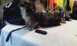 beautiful male long haired chihuahua excellent stud 8 months old