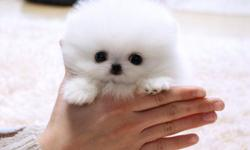 **Tiny Teacup Pomeranian Puppies For Adoption** They are Potty Trained and Vet check and are current on all Shots. They are 12 weeks old and are Ready to go into their new homes.  Note: Contact or call Us For more information.
