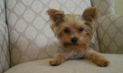 I have a 2 year old AKC registered Teacup Yorkie male. He is 3 pounds and absulotely the sweetest dog ever. Unfortunately, I am going through a divorce and I can not take him with me. He is the perfect little stud dog. He absolutely loves attention and is