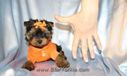 Congratulations ? you have found the best place in the country to get your new teacup puppy. The Star Yorkie Kennel brings you the best selection of teacup puppies and assures you will be happy with your new baby. The puppies we carry will range