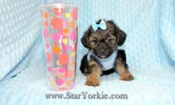 Star Yorkie Kennel offers registered high quality and healthy teacup Yorkie puppies for sale to good homes. Please visit our website to get information about all available puppies, nursing instructions, driving directions to our kennel,