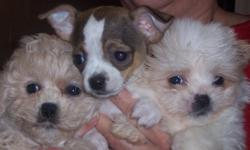 I have many different pourebred and popular mixes available in toy sizes. I have 15 years under my belt in this field and take pride in my experience. I welcome visitors at any time who are looking for a wonderful puppy. Cash, no shipping and pet homes