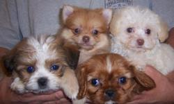 I have over 15 years of experience in this field and carry most all purebred and popular designer mixed puppies. Located in Cleveland, Ohio near all freeways, 5 min from Hopkins airport. My enviornment is very clean, healthy and happy. I have many