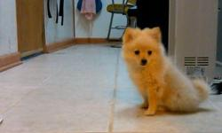http://tinytoypom.publishpath.com/ For Details and Contact form... Great Present for someone very special.  We named her Moon Sake Mono.  5 months old Cream blonde eyelashes not even 2lbs Almost fully house trained, Crate trained
