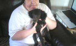 I ahve a sweet and beautiful tennie tiny toy balck female .She is CKC registered puppy pad trained and sleeps in a crate at night very social and does great withg small kids. please call 865-309-0338 this price is nego.