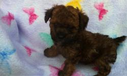 I have five adorable Tiny Toy Poodle Puppies for sale. One female and four males. They come with full AKC registration, current shots/wormings, and a one year genetic health gaurantee. They should be very small. Their dam is a 5.5 lb black/white parti.