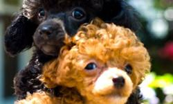 adorable tiny show quality poodles. Hypoallergenic. Does not shed