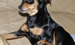 This is a 2 year old black/tan Chihuahua. She weighs 6 pounds and has been in the shelter since 01/09/11. Tish was surrendered to the MCAS because her elderly owner was no longer able to take care of her. She would be a great companion for an elderly
