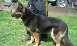 Isat Von Dak http://www.pedigreedatabase.com/gsd/pedigree/585350.html Isat is a proven brood bitch. She is housebroken and obedience trained. She is very lovable and great with all people. She would make a great house pet or new breeding female. BOTH