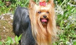 If you want the best yorkie you can get and one that will look like show quality you can get one here. See beautiful yorkies at www.debbieslittledogs.com puppies ready to go now. Bred and raised pets for you! 918-423-8257. Ok State Lic # 28