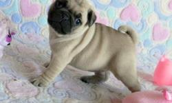 TOP QUALITY PUG PUPPIES FOR PETS LOVERS  AVAILABLE AND READY FOR NEW HOMES