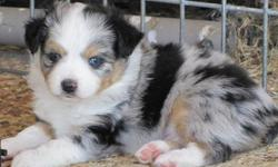 Registered Toy Aussie for Sale. This blue merle male is absolutely adorable. He has two georgous blue eyes and excellent markings. He has good bone and hair. He should mature to be about 12 inches and 12 pounds. Don't let