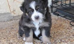 Registered Toy Aussies for Sale. Born 8-5-12. Thesefemales are absolutely adorable. They have good bone and excellent markings. One female is a natural bobtail. They should mature to be about 12 inches and 12