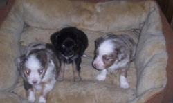 1 Red Merle Male with Blue Eyes 1 Red Merle Female with Blue Eyes 1 Black Tri Female DOB 1-3-11