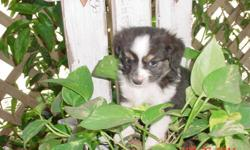 """NSDR Toy Aussies BET Lines I have 2 beautiful little Aussies left. The male is a black tri with very dark eyes and will probably be a TINY TOY as he is just a little over 2 pounds at 7 weeks old. We call him """"Tiny Tim"""". He is a precious little puppy with"""