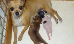 We have some very sweet adult CKC Chihuahuas for a re-homing fee of $50.00 to $200.00 depending on the puppy dog. We are trying to downsize & find good homes for them. Can e-mail Pix. Some have been spayed or neutered. You need to live within 70 miles of