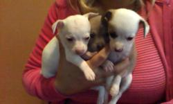 beautiful toy chihuahua puppies male & female mom is 5lbs dad is 2lbs asking price 250.00 neg. parents on premises SERIOUS INQUIRIES ONLY plz. 619 674-5601 contact for more info.