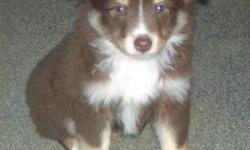 """Toy - mini australian shepherd female puppies. Dark red tris, parents 12.5"""" & 14"""" tall. vet check, utd on shots, Puppy pkg. easy to train and your new best friend. Call 765-776-2455"""