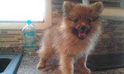 Only one purebred toy pom left. Female almost 10 weeks old shots & de wormed. Both mother and father weigh around 5 pounds. Great with kids, other dogs and cats. She is sable in color. Asking 275.00 cash only w/o registration. Father is pictured with her.