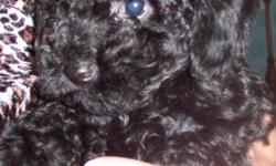 toy poodle 1 black girl-2 boys 1 black 1 chocklate first shot and worming- 304-260-5568
