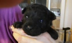 Born 10/16/12 *** Pre Spoiled *** All balck, doesn't seem to be a speck of white on him. His mother is a Phantom Poodle and daddy is Black. He has been vet checked and had first shot and wormed He is raised in my living room and use to other animals,