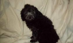 I have two litters of toy poodle puppies. The older litter was born on February 21, 2010 and are creme/white in color. I only have one puppy left from this litter and will sell for $75. The second litter of puppies were born on September 9, 2010 and they