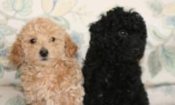 Two Beautiful Female Toy Poodle Puppies ready to go to their new home. Very Playful and loving little babies. One Black and one apricot.Please call for more information.