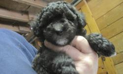 I have a litter of TOY POODLE puppies ready for their new homes. They have had their first set of shots, regular worming and CKC Registration. The puppies are 8 weeks old and NON-SHEDDING.There is one cream female, 1 female turning